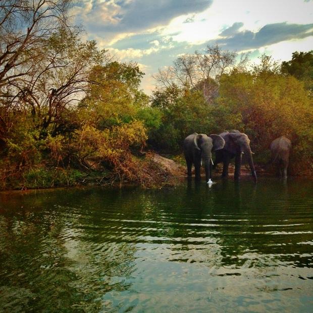 Elephants at the side of the Zambezi, Zambia
