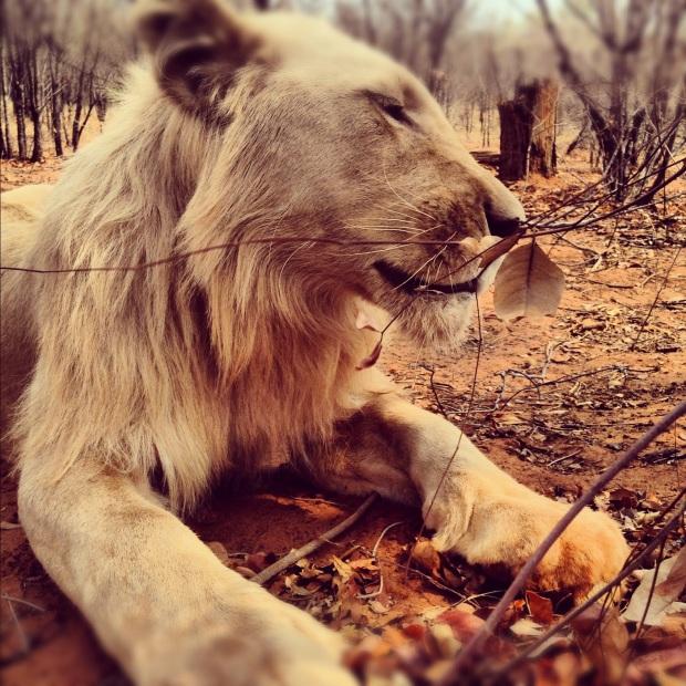 fottles-travels-lions-4